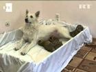 La perra Talli adopta a tres crías de tigre