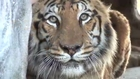 Meet the LIONS & TIGERS of Big Cat Rescue!